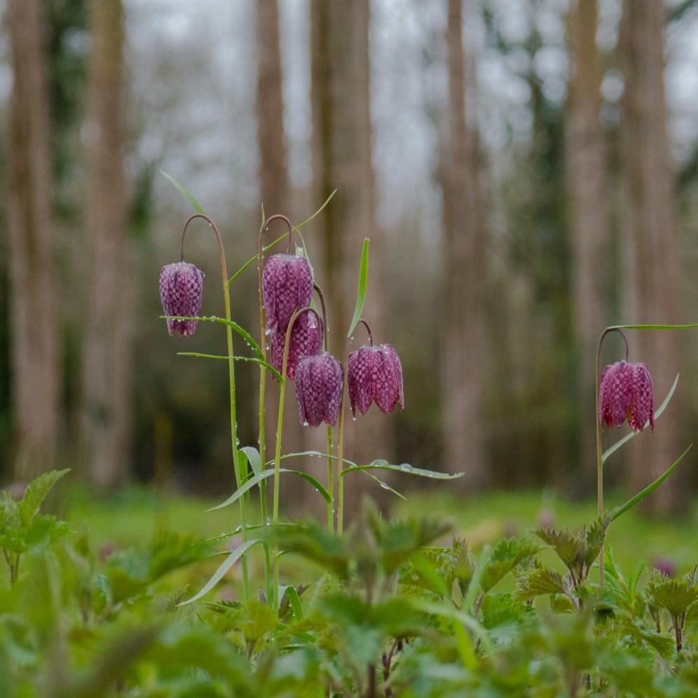 Fritillaries under poplars