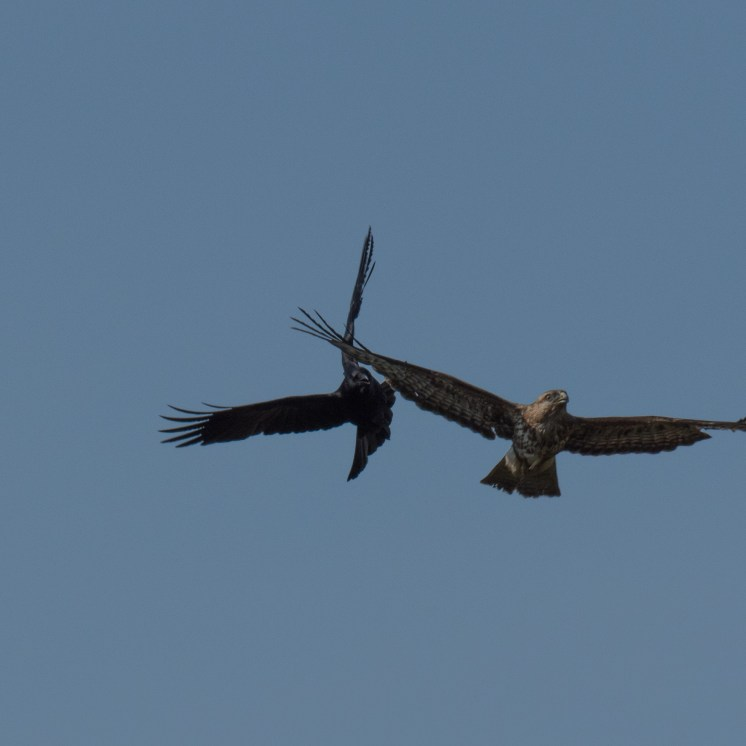 Carrion crow seeing off a buzzard