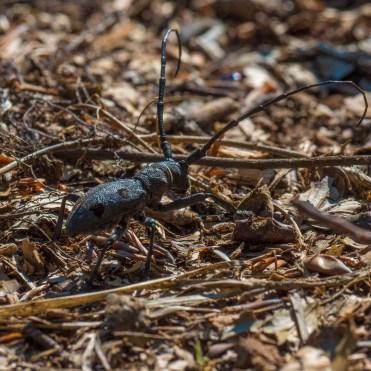Beech longhorn bettle