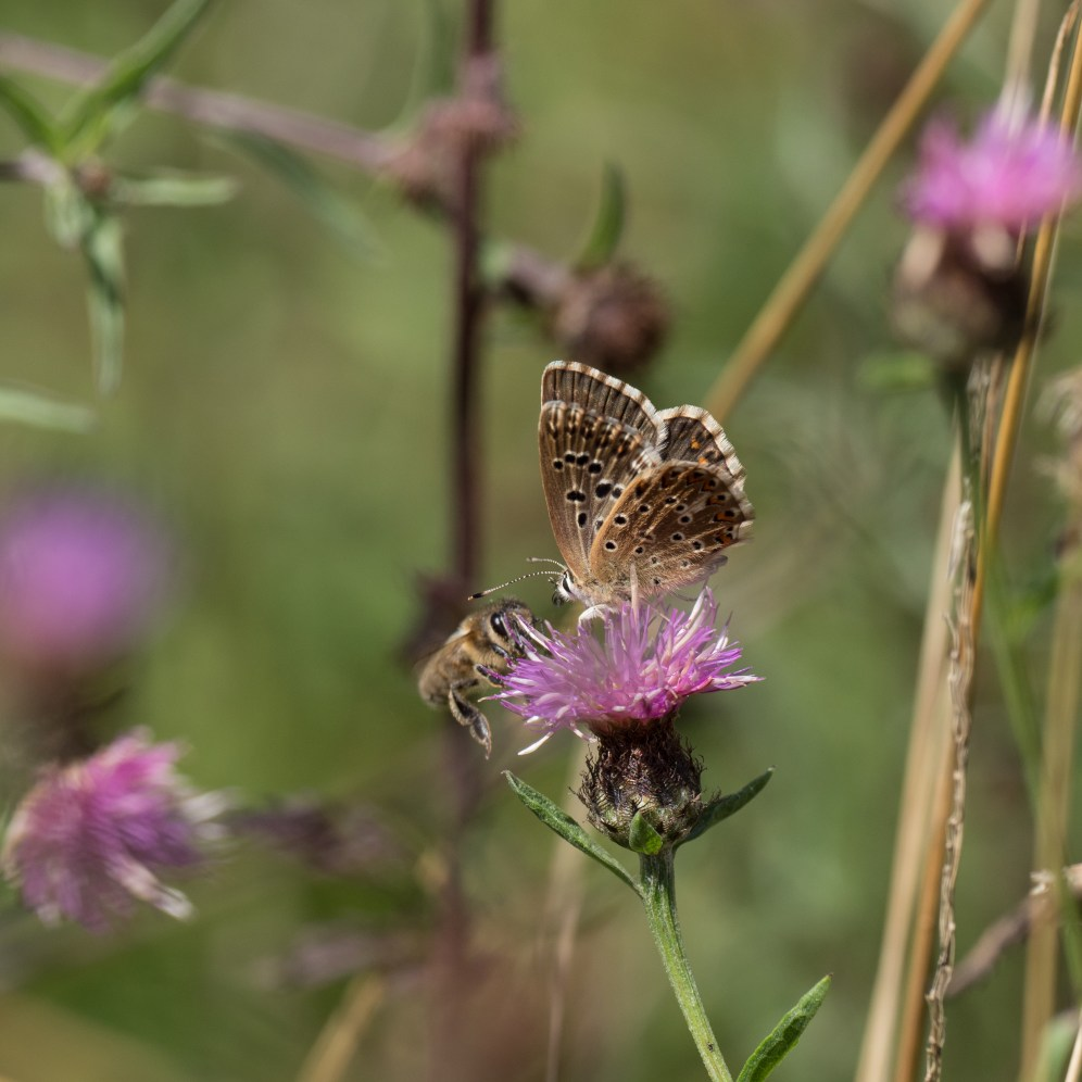 Female Adonis or chalkhill blue; they are virtually identical