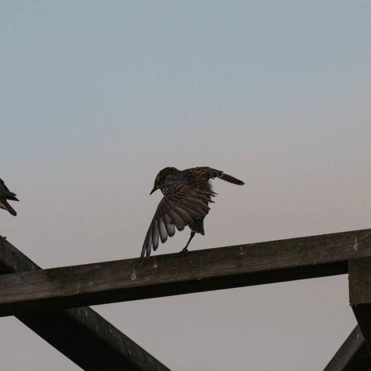 Starling pirouette