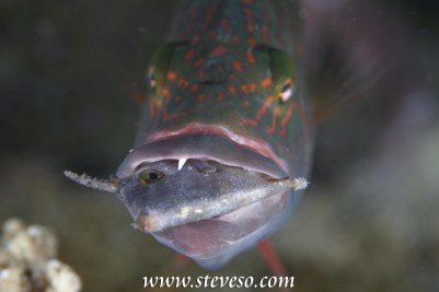 file fish eaten by parrot mouth