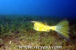 giant longhorn cowfish