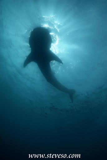 whale shark in silhouette