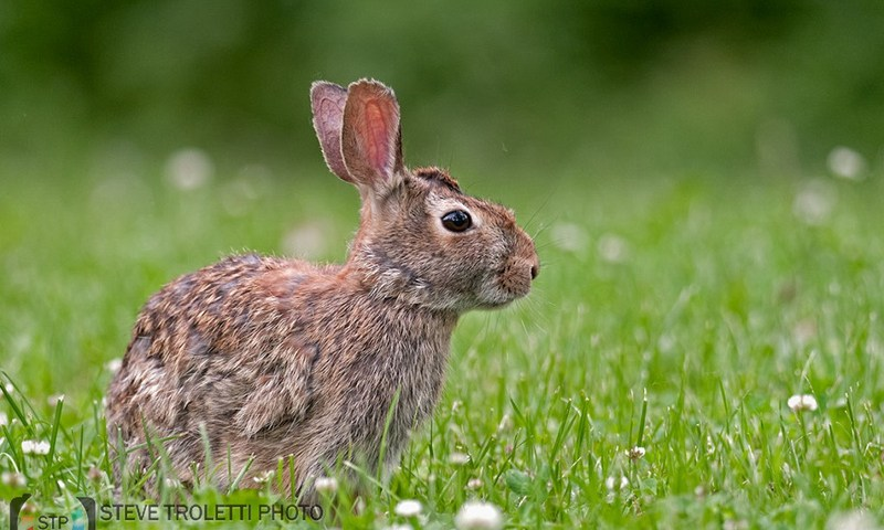 The Eastern Cottontail Rabbit