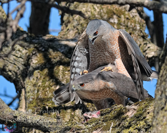The Cooper's Hawks are Mating in the Greater Montreal Region