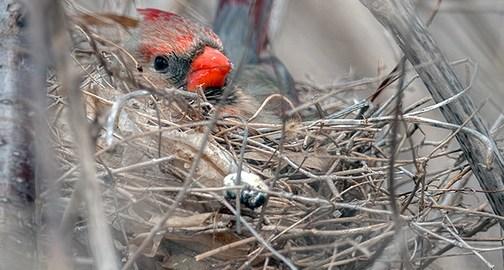 La femelle cardinale rouge déjà au nid – Parc-nature de l'Ile-de-la-Visitation