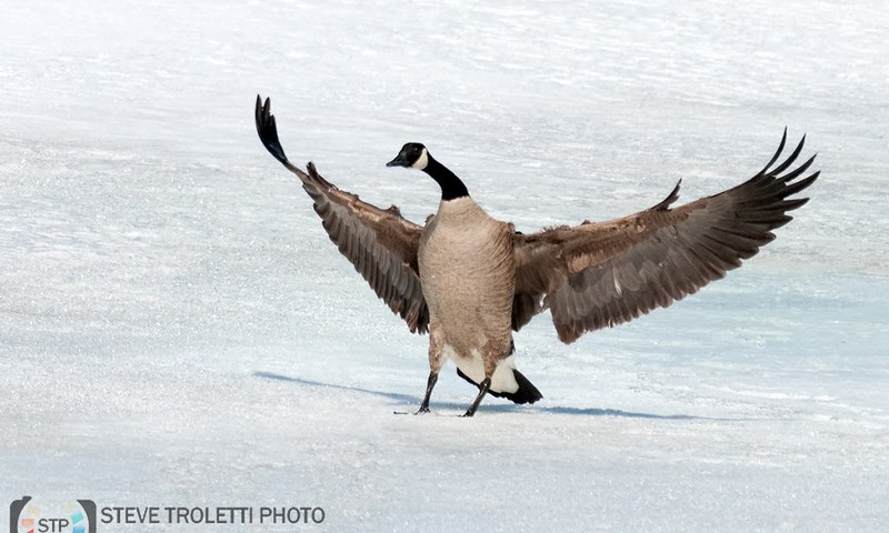 Montreal Birding – 2014 Spring Bird Migration Update
