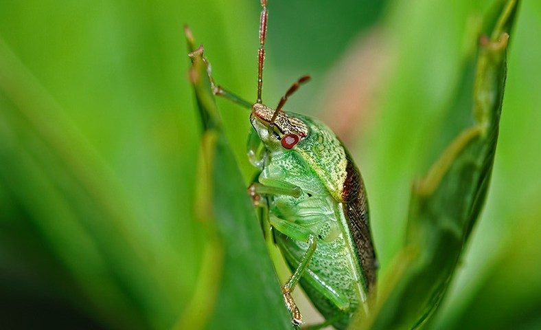 Stink Bug (Banasa dimiata) Added to the Macro Photo Gallery