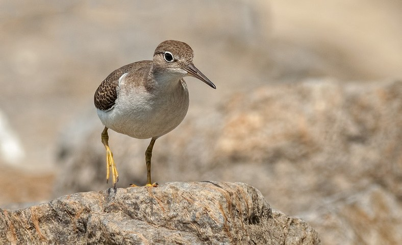Spotted Sandpipers in Action along the Saint Lawrence River
