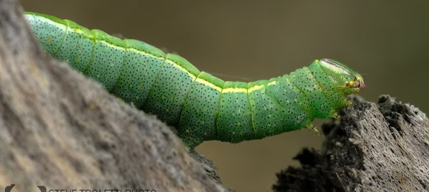 The small green caterpillar and the Nikon R1 Speedlight Wireless Flash System