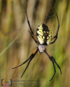 Argiope aurantia Spider – Your Common Black and Yellow Garden Spider