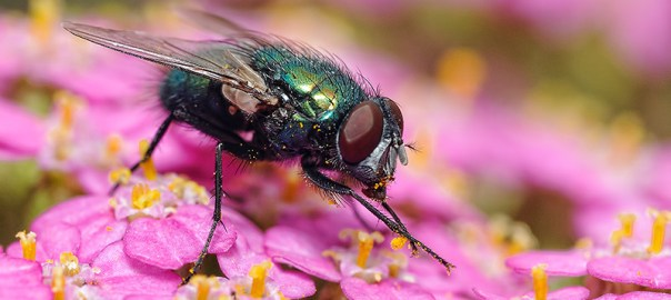 Lets Shoot Some Macro; Common Green Bottle Fly