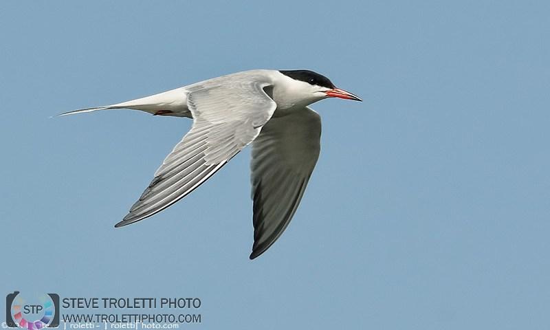 Common Tern in Flight / Sterne pierregarin en vol