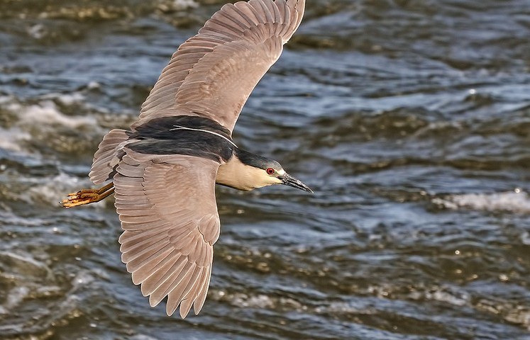 Black-crowned Night Heron in Flight @ Sunset