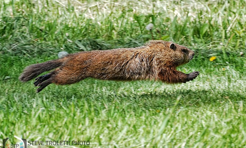 Is It A Plane? Is It A Bird? No..It's….SUPERGROUNDHOG!