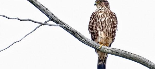 Merlin Posing on a Branch / Faucon émerillon sur une branche