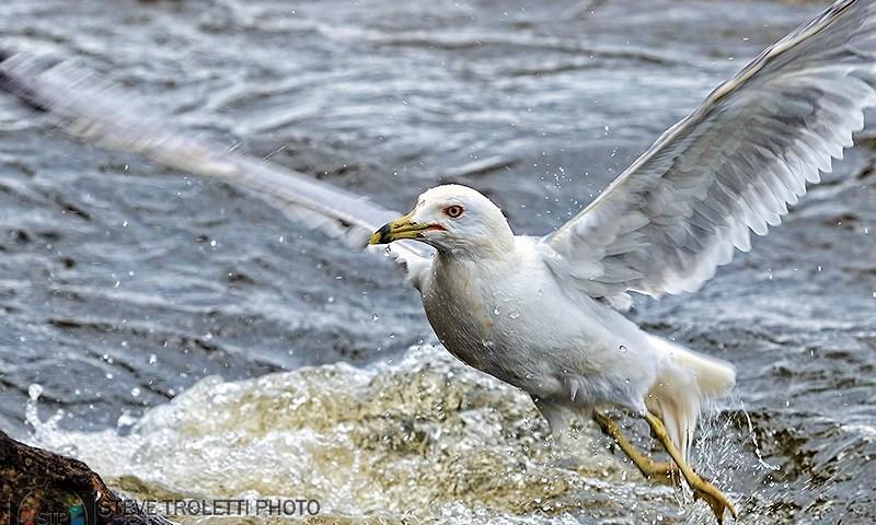 Ring-billed Gull – Goéland à bec cerclé