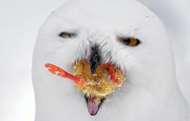 Snowy Owl the Colonel's Secret Recipe!