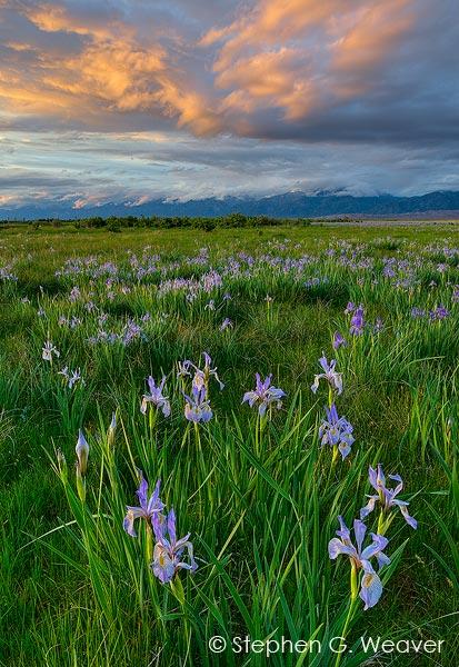 Iris Meadow Sunset