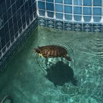 Strawberry The Turtle