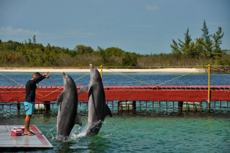 photo of dolphins in cayo largo cuba showing off