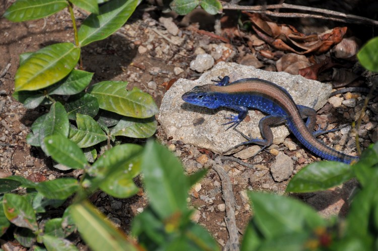 Photo of a blue lizard on providencia, colombia