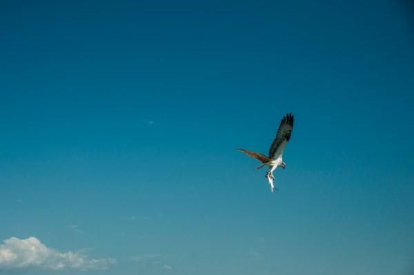 Photo of an osprey holding a fish in Venice florida