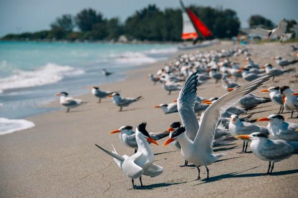 Photo of birds on Venice beach in Venice florida