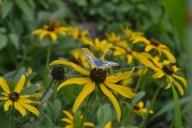 Lepidoptera Rudbeckia