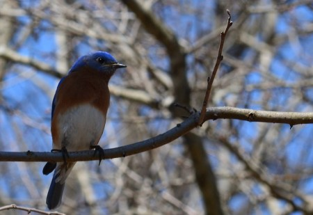 Bluebird at Shaw Nature Reserve