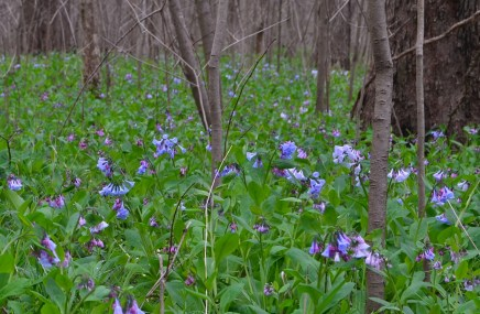 Virginia Blue Bells at Shaw Nature Reserve