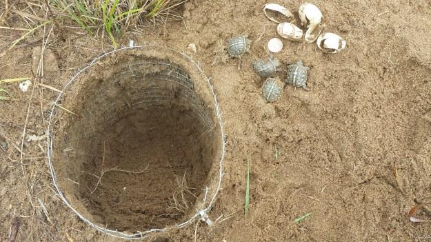 Ornate Box Turtles at Lost Mound Unit