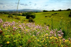 Wildflowers growing on the Downland