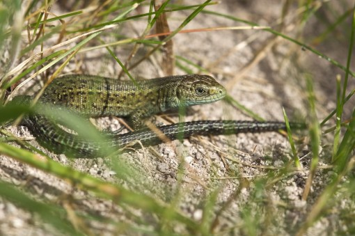 A Common Lizard