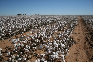 Cotton_field,_West_Texas
