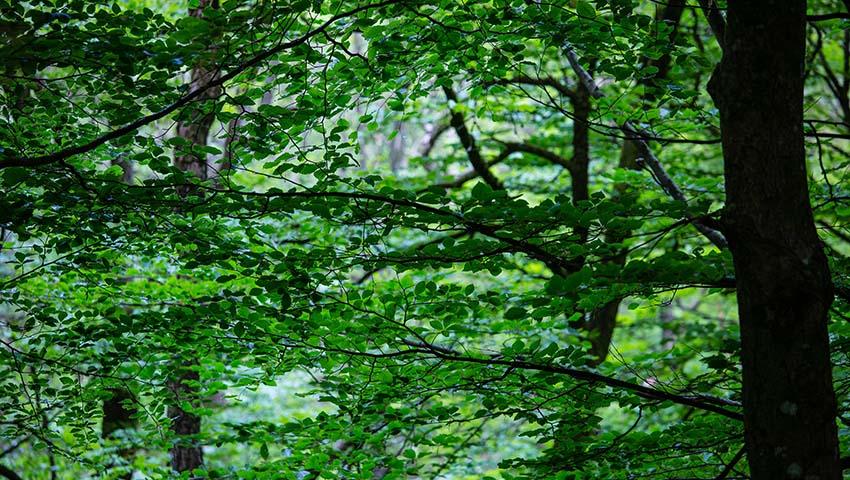 grönska i skog vid Bråtadal