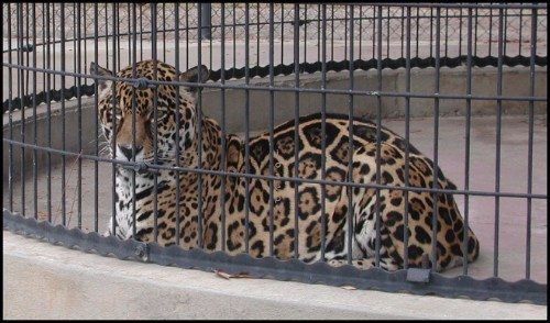 Southern Jaguars cage
