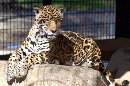Southern Jaguars Lacumba