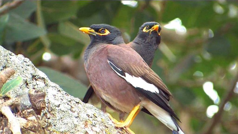 Mynah bird, St Helena Island