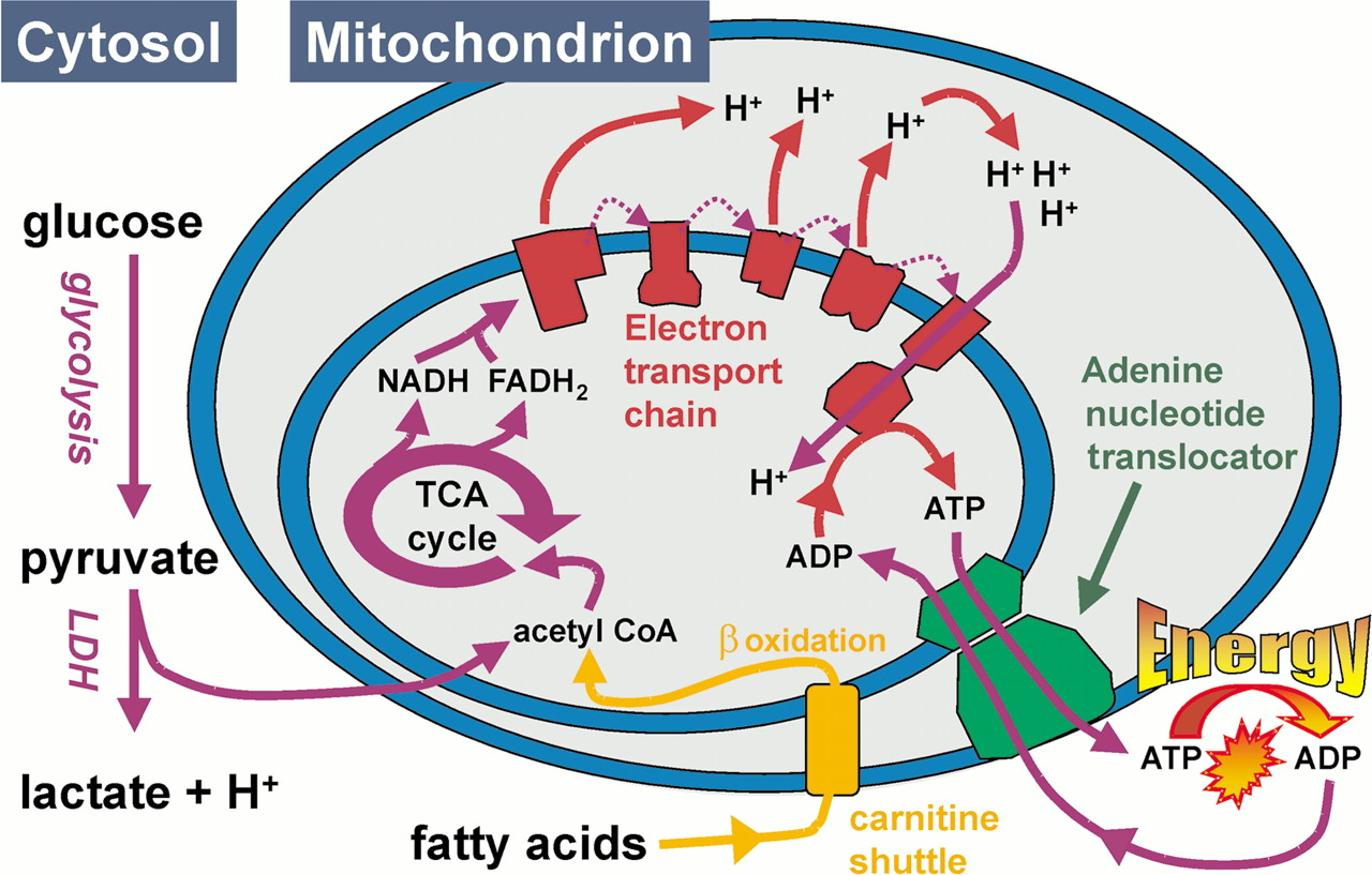 Image result for mitochondria energy metabolism