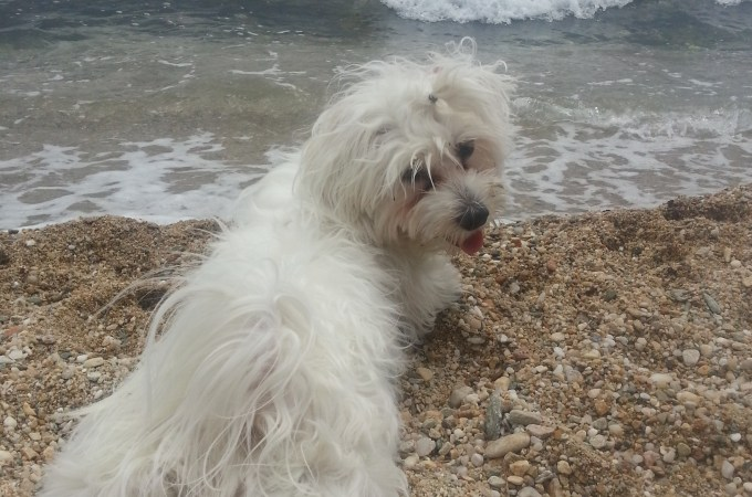 NIJE VIC PAS MALTEZER KAO IMIGRANT / IT IS NOT FUNNY STORY MALTESE DOG AS AN IMMIGRANT