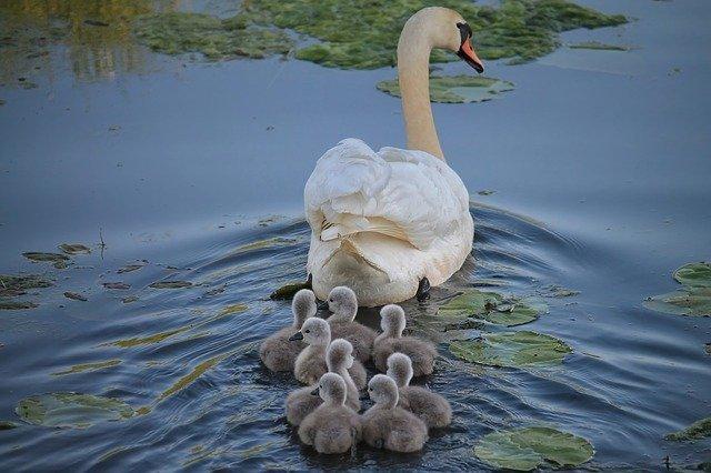 swan-3299528_640