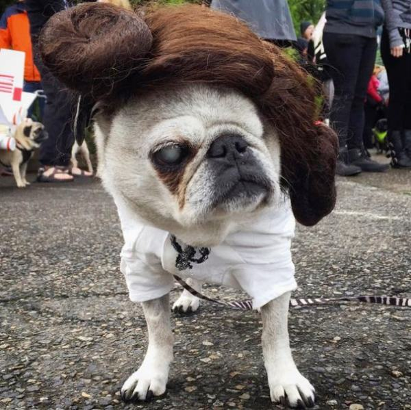 'Star Wars' Pug Parade