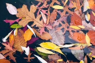 Fallen leaves gathering in the water.