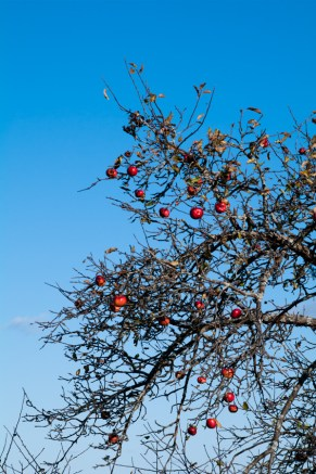 This has been a fall to remember for the apple crop which I've enjoyed sampling on my walks.