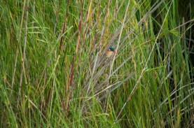 Hunting insects and fish from the reeds along the river