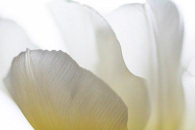 Tulip-5319