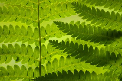 Interrupted Fern