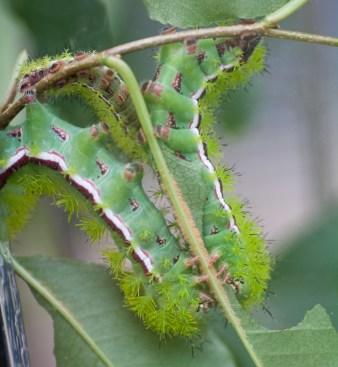 A pair of Prometheus caterpillars.